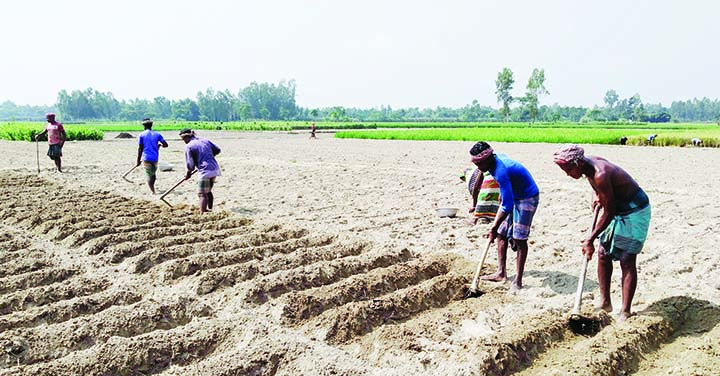 PANCHBIBI (Joypurhat): Farmers at Joypurhat passing busy time preparing fields for  potato cultivation. This snap was taken from Gangaprosad village yesterday.