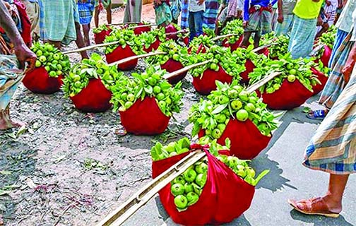 Growing success in guava cultivation