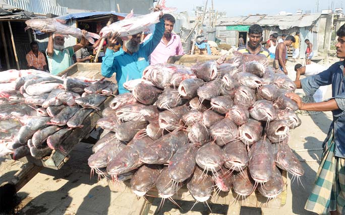'Kata Mach', one kind of local fish is being caught abundantly in the Bay . This picture was taken from the Fisheryghat area yesterday.