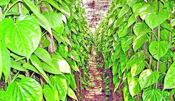 Betel leaf cultivation on rise in Khagrachhari