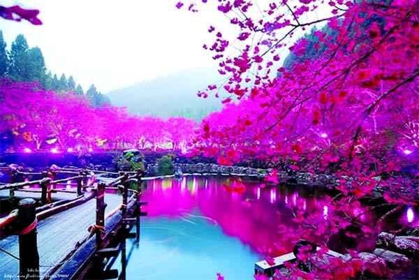 The Cherry Blossom Festival in Shillong