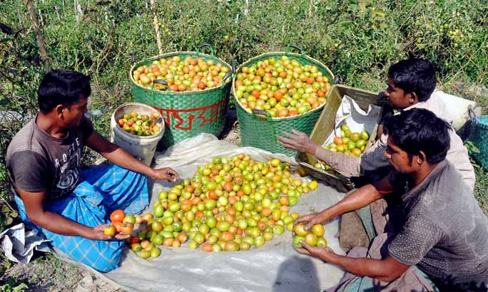 Farmers at Anandanagar in Halisahar passing busy time in tomatoes harvest as the district has achieved bumper production of the winter  vegetables this season. This snap was taken yesterday.