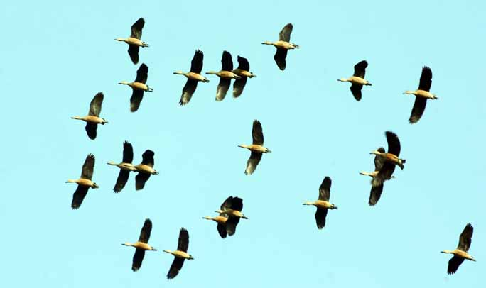 Migratory birds have started arriving in Chattogram. This snap was taken from Kadamtoli Unnosattor Para  yesterday.