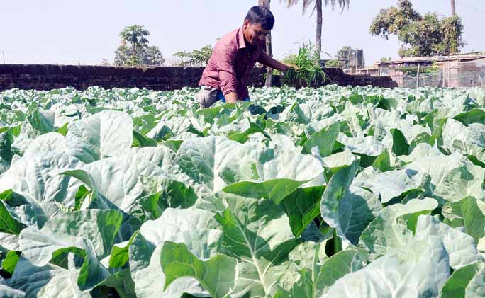 Farmers passing busy time in cabbage harvest at Anandanagar in Halishahar. This picture was taken yesterday.
