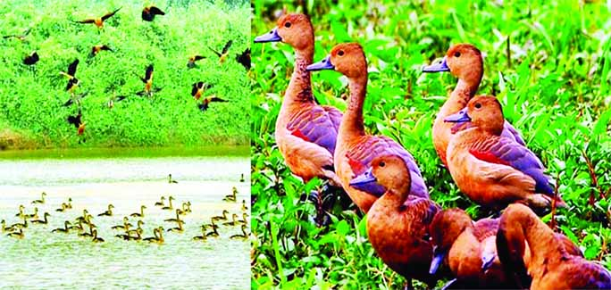 RANGPUR: The migratory birds, huge numbers of are arriving from the coldest northern hemisphere in the water bodies giving those and fleeting glimpse and pleasant look in the northern region of the country.