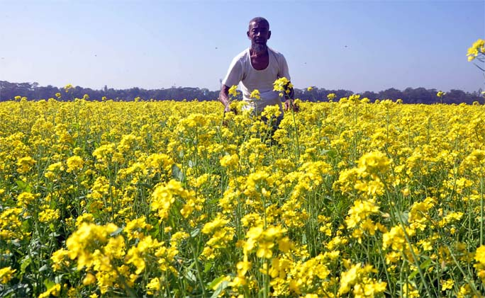 A mustard field at  Dalinagar area in  Raozan Upazila predicts bumper production of the crop this season. This picture was taken yesterday.