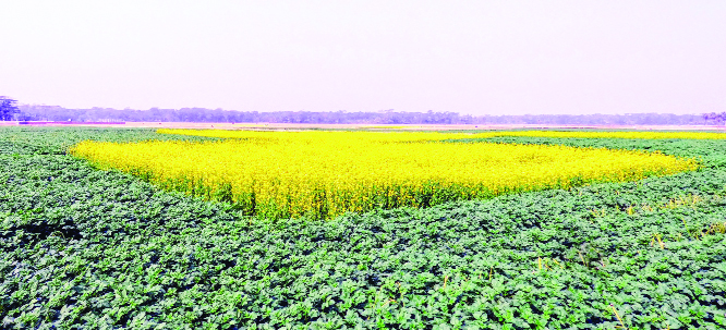 3 lakh tonnes of oilseed to be produced  in Rajshahi Divn
