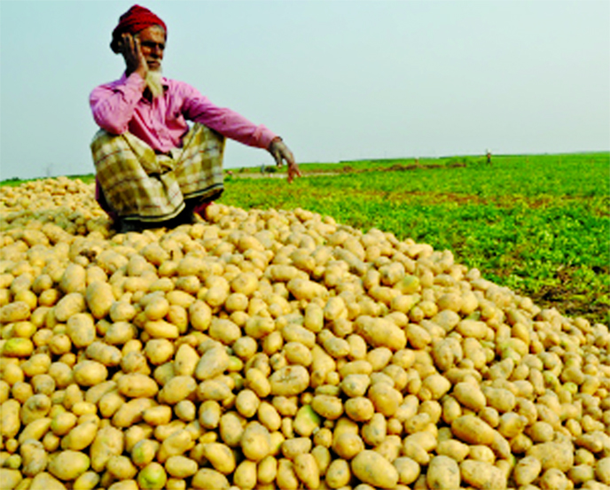 Jashore potato farmers in distress