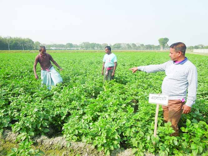 Late blight resistant potato being cultivated  in Nilphamari