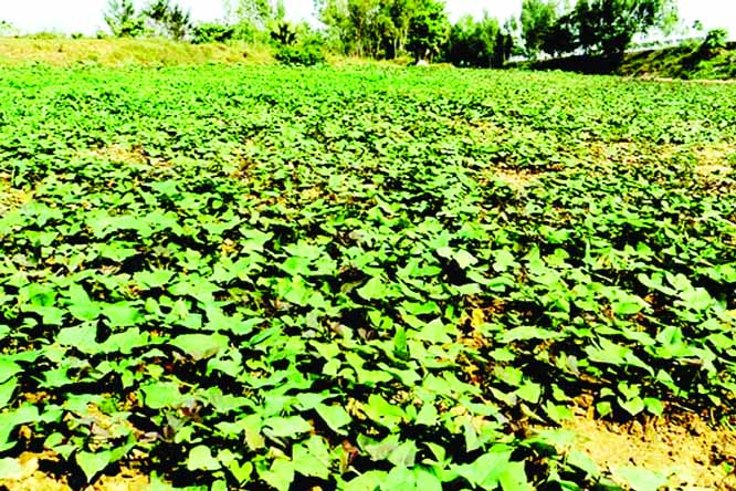 Sweet potato cultivation gaining  popularity in  Rajshahi, Manikganj