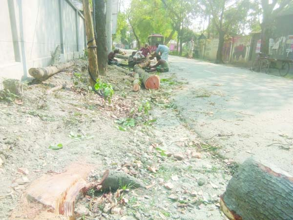 JAMALPUR: Influentials cut down trees of Roads and Highways Department at Sarishabari in the district. This snap was taken on Tuesday.