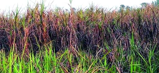 Scene of sugarcane field in Panchbibi upazila of Joypurhat district attacked by Mazra insects. Photo was taken from Nandail area of the upazila.