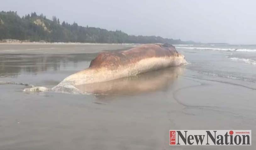 Dead whale found in Himchhari beach