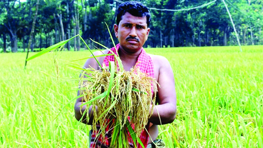 Jashore Boro farmers upset with blast attack in paddy fields