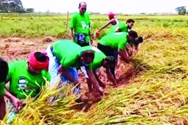 In response to call of the Prime Minister, Chandpur District Jubo League leaders and workers harvest ripe Boro paddy of a poor farmer, Akter Hossain,  and take the yield to the farmer's home in a char  area at Raj Rajeswar village under Chandpur Sadar on Sunday. District Jubo League President Mizanur Rahman Kalu led the team.