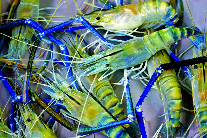 Shrimp hatcheries face Tk100cr loss from bacterial attack