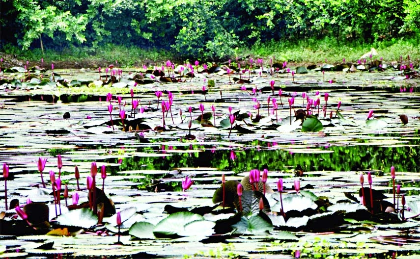 Red Water Lilies have blossomed  in a pond inside the Suhrawardy Udyan in the capital.  This photo was taken yesterday.