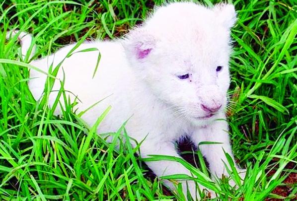 White lion dies at Gazipur safari park