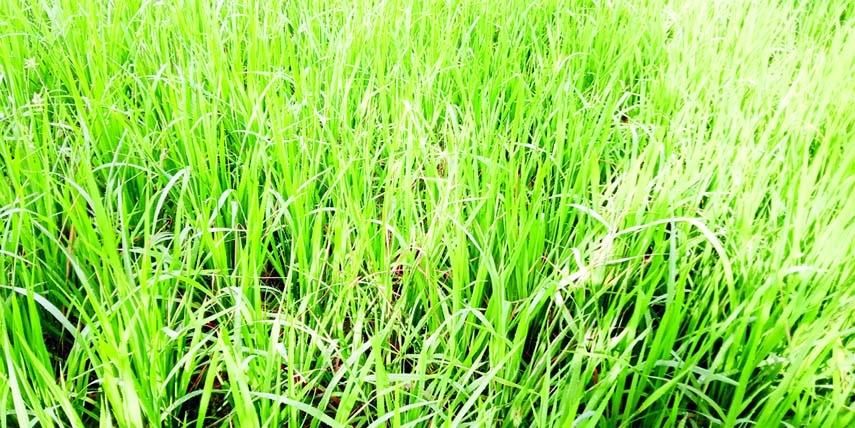 Millibugs attack paddy in Jamalpur